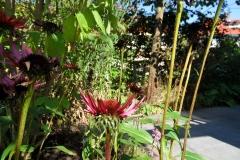 echinacea-achter